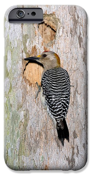 Woodpecker iPhone Cases - Golden-fronted Woodpecker iPhone Case by Anthony Mercieca