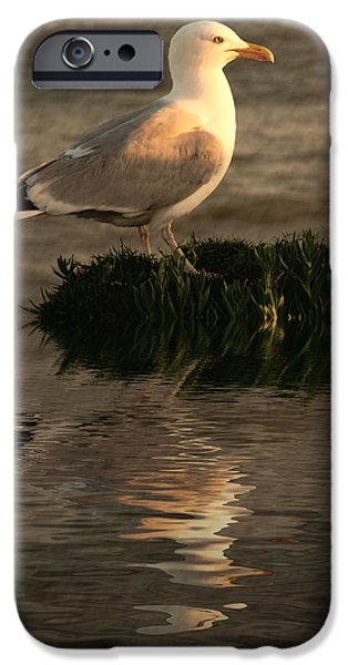 Sea Birds iPhone Cases - Golden Gull iPhone Case by Sharon Lisa Clarke
