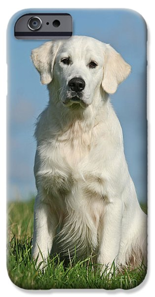 Dog Photos iPhone Cases - Golden Retriever dog on meadow with blue sky iPhone Case by Dog Photos