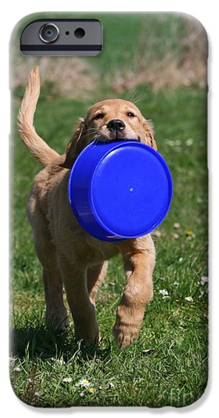 Dog Photos iPhone Cases - Golden Retriever puppy retrieving blue dog bowl iPhone Case by Dog Photos