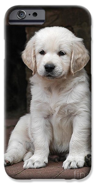 Dog Photos iPhone Cases - Golden Retriever puppy sitting on cobbles iPhone Case by Dog Photos