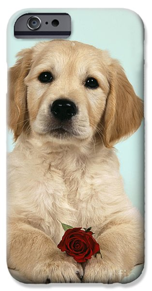 Cute Puppy iPhone Cases - Golden Retriever Puppy With Rose iPhone Case by John Daniels