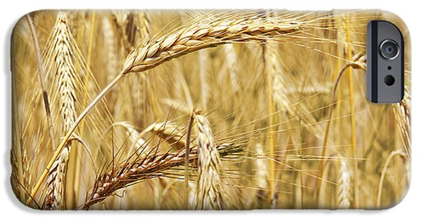 Agriculture iPhone Cases - Golden Wheat  iPhone Case by Carlos Caetano