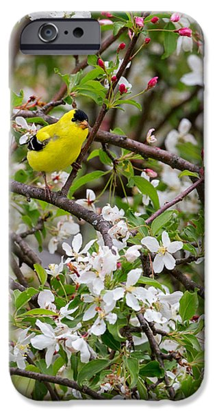 Finch iPhone Cases - Goldfinch iPhone Case by Bill  Wakeley