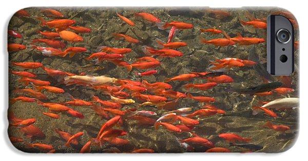 Goldfish iPhone Cases - Goldfish Carassius Auratus Swimming iPhone Case by Panoramic Images