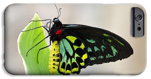 Goliath iPhone Cases - Goliath Birdwing Butterfly  iPhone Case by Saija  Lehtonen