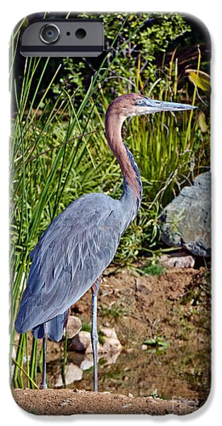 Goliath iPhone Cases - Goliath Heron By Water iPhone Case by Anthony Mercieca