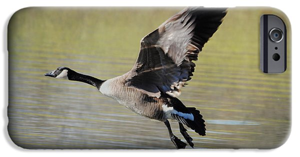 Geese iPhone Cases - Goose in Flight 1 iPhone Case by Jai Johnson