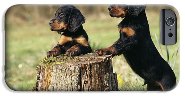 Gordon Setter Puppy iPhone Cases - Gordon Setter Puppy Dogs iPhone Case by John Daniels