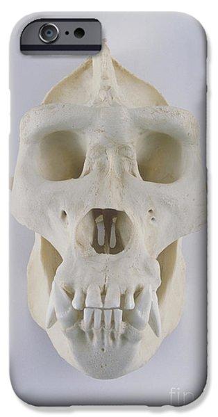 Gorilla iPhone Cases - Gorilla Skull iPhone Case by Barbara Strnadova