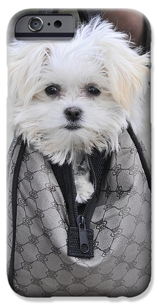 Maltese Puppy iPhone Cases - Gracie Hangin Out iPhone Case by Kenny Francis