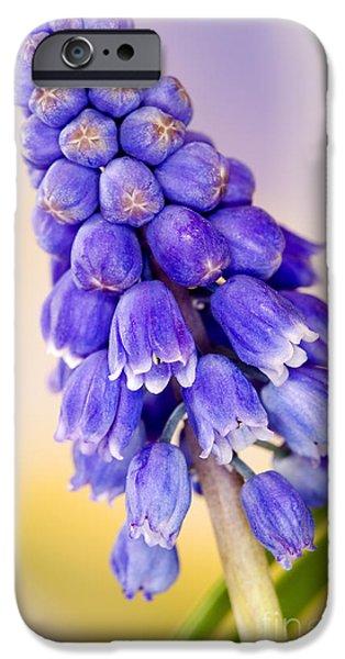 Blue Grapes Photographs iPhone Cases - Grape Hyacinth Muscari Armeniacum iPhone Case by Cheryl Power