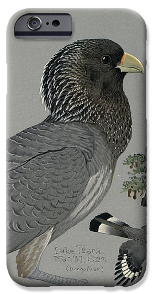 Ethiopia iPhone Cases - Gray Plantain Eater iPhone Case by Louis Agassiz Fuertes
