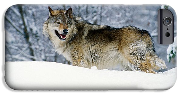 Snowy Day iPhone Cases - Gray Wolf In Snow, Montana, Usa iPhone Case by Panoramic Images