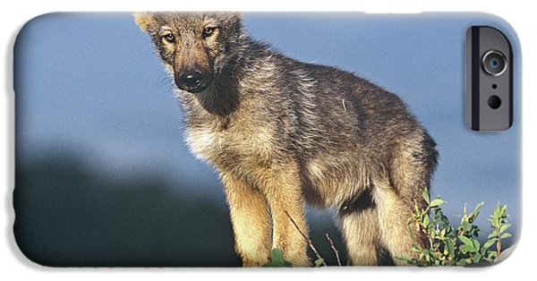 Wolf Photographs iPhone Cases - Gray Wolf Pup Montana iPhone Case by Tim Fitzharris