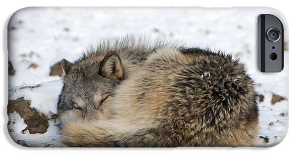 Recently Sold -  - Nature Study iPhone Cases - Gray Wolf Sleeping iPhone Case by Louise Murray