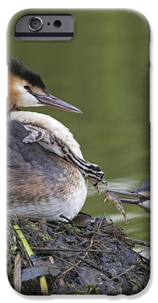 Feeds Chicks iPhone Cases - Great Crested Grebes Feeding Chick iPhone Case by Dickie Duckett