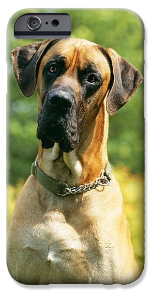 Dog Close-up iPhone Cases - Great Dane iPhone Case by John Daniels