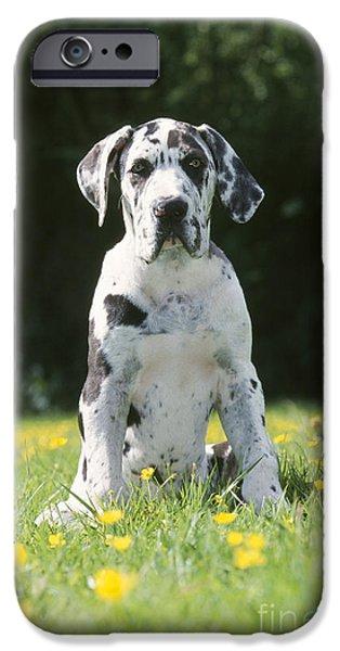 Great Dane Puppy iPhone Cases - Great Dane Puppy iPhone Case by Johan De Meester