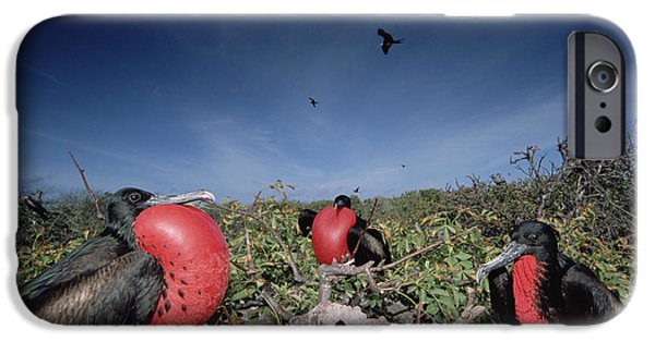 Wildlife Celebration iPhone Cases - Great Frigatebird Males In Courtship iPhone Case by Tui De Roy