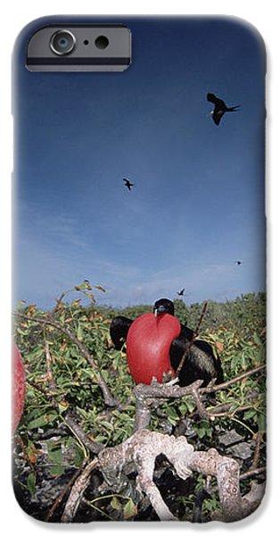 Great Frigatebird Males In Courtship iPhone Case by Tui De Roy