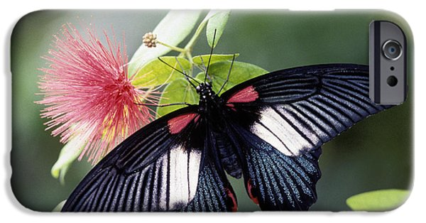 Buterfly iPhone Cases - Great Mormon and Mimosa - FS000581 iPhone Case by Daniel Dempster