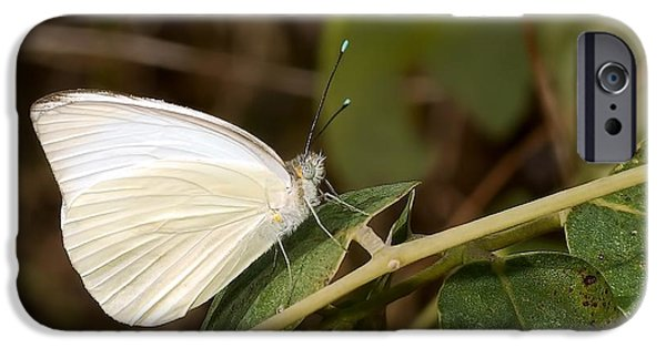 Eating Entomology iPhone Cases - Great Southern White Butterfly iPhone Case by Rudy Umans