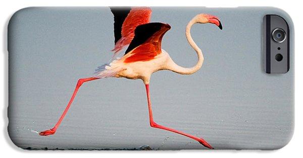 Birds iPhone Cases - Greater Flamingo Phoenicopterus Roseus iPhone Case by Panoramic Images
