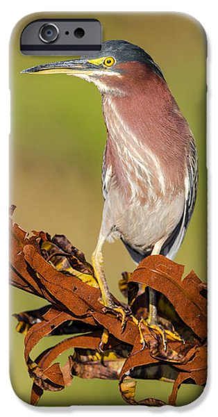 Wetlands iPhone Cases - Green Heron iPhone Case by Andres Leon