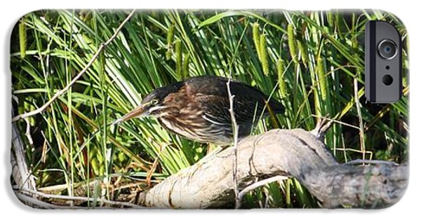 Baby Bird iPhone Cases - Green Heron - Juvenile iPhone Case by Sue Chisholm