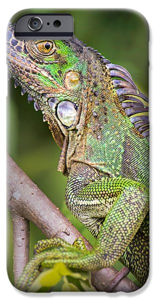 Iguana iPhone Cases - Green Iguana Iguana Iguana, Sarapiqui iPhone Case by Panoramic Images