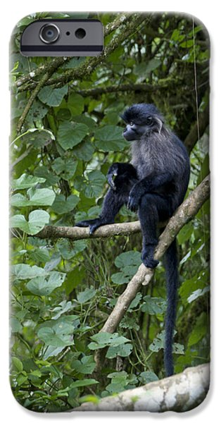 Gray Hair iPhone Cases - Grey Cheeked Mangabey  iPhone Case by Brian Kamprath