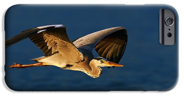 Grey Photographs iPhone Cases - Grey heron in flight iPhone Case by Johan Swanepoel