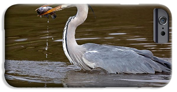 Anticipation Photographs iPhone Cases - Grey Heron, Kenya iPhone Case by Panoramic Images