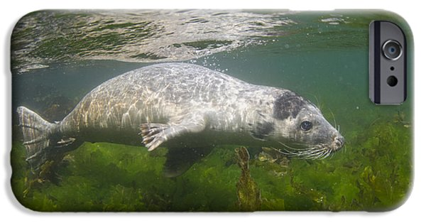 North Sea iPhone Cases - Grey Seal Pup Off Farne Islands iPhone Case by Jack Perks