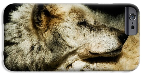 Wolf Image iPhone Cases - Grey Wolf Resting iPhone Case by Jay Lethbridge