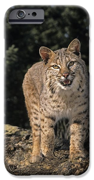 Bobcats Photographs iPhone Cases - G&r.grambo Mm-00006-00275, Bobcat On iPhone Case by Rebecca Grambo