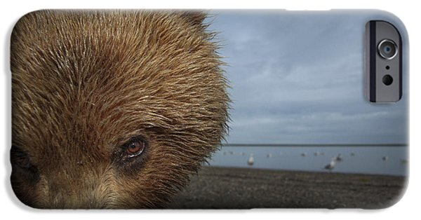 Tidal Photographs iPhone Cases - Grizzly Bear In Tidal Flats Alaska iPhone Case by Ingo Arndt