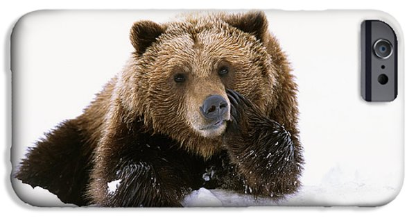 Snowbank iPhone Cases - Grizzly Resting Head On Paw While iPhone Case by Doug Lindstrand