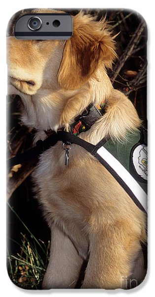 Cute Puppy iPhone Cases - Guide Dog In Training iPhone Case by William H. Mullins