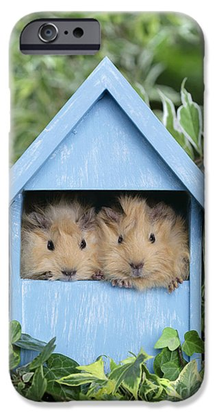 Hut iPhone Cases - Guinea Pig in House GP104 iPhone Case by Greg Cuddiford