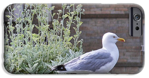 Seagull iPhone Cases - Gull at Saint Malo 2 iPhone Case by Nikolyn McDonald