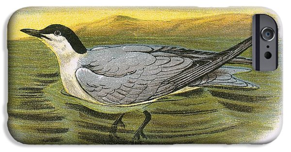 Tern iPhone Cases - Gull Billed Tern iPhone Case by English School