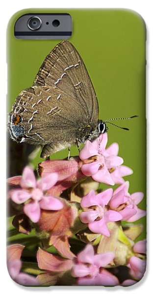 Wild Animals iPhone Cases - Hairstreak Butterfly on Flowers iPhone Case by Christina Rollo