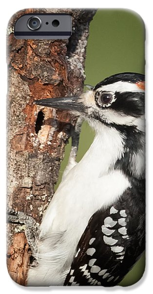 Woodpecker iPhone Cases - Hairy Woodpecker iPhone Case by Bill  Wakeley