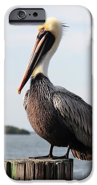 Seabirds iPhone Cases - Handsome Brown Pelican iPhone Case by Carol Groenen
