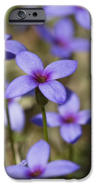 Happy Tiny Bluet Wildflowers iPhone Case by Kathy Clark
