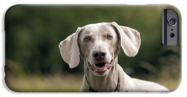 Dog Close-up iPhone Cases - Happy Weimaraner iPhone Case by John Daniels