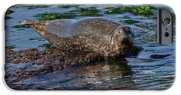 Ocean Mammals iPhone Cases - Harbor Seal At Low Tide iPhone Case by Anthony Mercieca