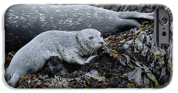 Point Lobos State iPhone Cases - Harbor Seal Pup Resting iPhone Case by Suzi Eszterhas